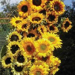 Let's Grow Some Sunflowers From Seeds