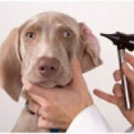 How to Clean a Dog's Ears – Cleaning Dog Ears