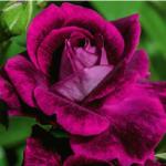Roses for Spring – Best Roses for Spring